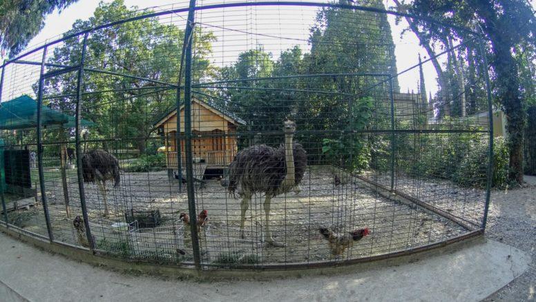 Страусы в парке Новый Афон