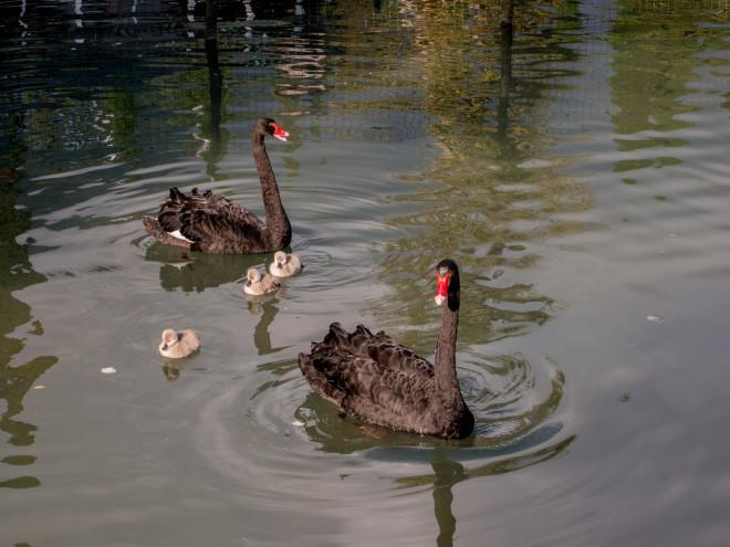 Семейство черных лебедей в парке в Новом Афоне