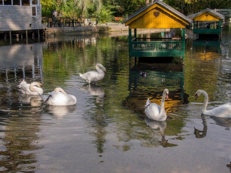 белые лебеди в парке в Новом Афоне