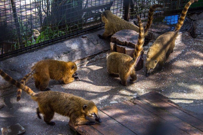 Носухи в зоопарке Сказка в Ялте