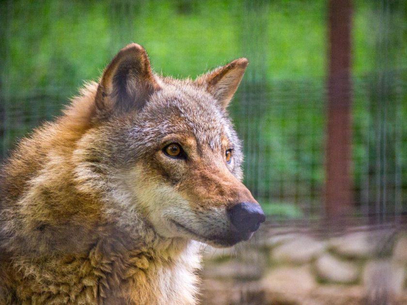 волк в зоопарке Ялты