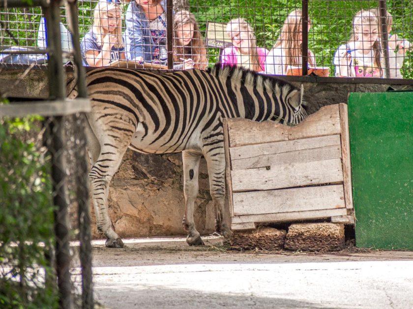 зебра в зоопарке Сказка