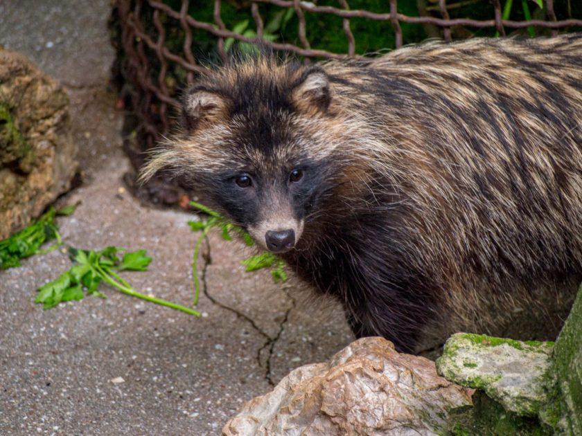 Енотовидная собака в зоопарке Сказка