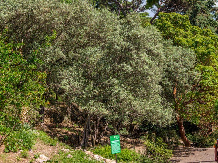 Оливковая роща Никитского ботанического сада